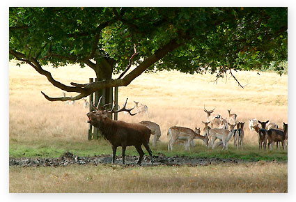 Bellowing-stag-Richmond-Park