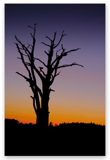 Digital SLR photography, tree sunset