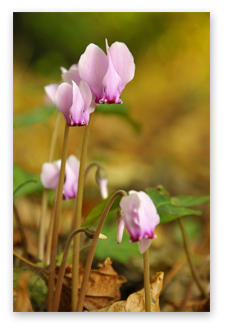 Landscape photography tips - Cyclamen