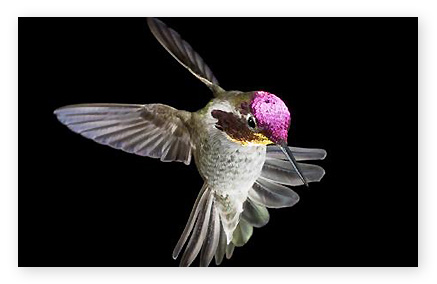 humming bird by photographer Pat Hunt