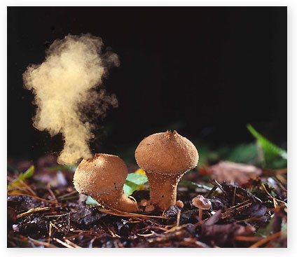 Puff balls emitting spores at Pipers Hill shot by Les Clarke